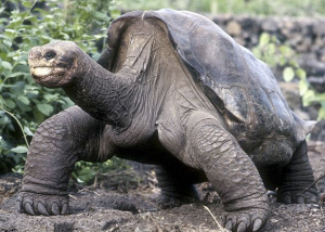 Lonesome George has hopefully found some of his peeps up there in Turtle Heaven.
